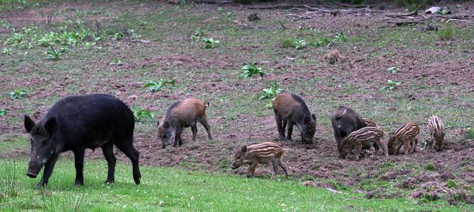 Auftreten der Aujeszkyschen Krankheit bei Wildschweinen im Landkreis Hof